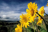 Balsamroot Balsamorhiza, Columbia Hills State Park, Columbia River Gorge National Scenic Area, Washington