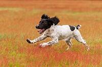 An English Springer Spaniel working gun dog strain running in a field