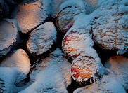 Snowy spruce, picea abies, logs. Location Suonenjoki Finland Scandinavia Europe.