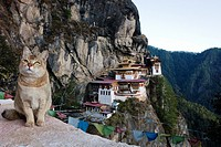 A cat in a mirador on the way to the Taktsang Monastery Tiger´s Nest, Paro Valley, Bhutan, Asia.