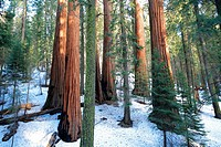 Giant Forest, Sequoia National Park in Tulare County, Sierra Nevada, California, United States, USA  Sequoiadendron giganteum