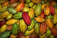 Cacao fruit pods in plantation in the eastern coast of Venezuela, probably the best cacao in the world