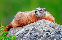 Yellowstone, Yellow Bellied Marmot at Wraith Falls below the Blacktail Deer Plateau at Yellowstone National Park in northern Wyoming