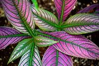 Persian Shield Plant, Balboa Park Botanical Garden