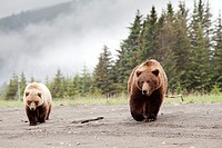 Family mother with cubs of grizzly brown bears - Ursus arctos -, Lake Clark National Park, Alaska, U S A