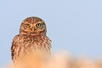 Little Owl Athene noctua perched on a stone  Lleida  Catalonia  Spain