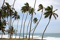 Landscape with palm trunks bent on the coast of Varkala