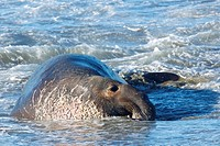 North America, USA, California, San Simeon  Northern Elephant Seal