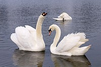 Mute swans in Round Pond, Kensington Gardens, London