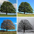 digital Composite of four seasons of a Single Sycamore Maple Tree on meadow, Sumava National Park, Bohemia, Czech Republic, Europe