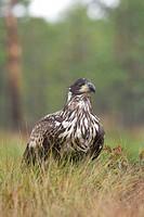 White-tail Eagle Haliaeetus albicilla  Estonia