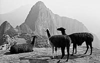 Llamas overlooking Machu Picchu, Peru
