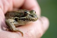 Frog  Rana ridibunda