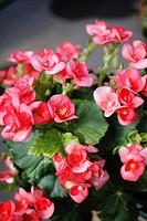 Elatior begonia Begonia x hiemalis is a hybrid begonia with an upright growth habit and big single bloom or double blooms  Elatior begonia is availabl...
