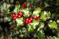 Blue Princess Holly bush - Ilex pron : /´alks/, or holly,is a genus of 400 to 600 species of flowering plants in the family Aquifoliaceae, and the onl...