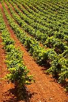 Bobal Vineyard