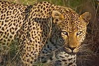 Leopard, Panthera pardus, Sabi Sand Game Reserve, Kruger National Park, Mpumalanga, South Africa, Africa