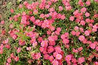 Rockrose (Helianthemum) Bunbury flowers close up, England, UK