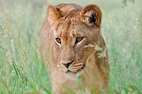 Lioness, Panthera leo, Kgalagadi Transfrontier Park, Northern Cape, South Africa.