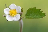 Wild Strawberry, Fragaria vesca, Schleswig-Holstein, Germany.