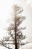 Pine tree. Villanueva de Castellón, Valencia, Spain