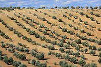 Olive grove, Spain.