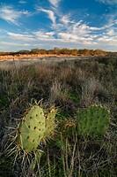 Prickly pear cactus in a Texas desert area.