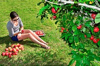 Young woman picking apples from an apple tree in the garden on a lovely sunny summer day.