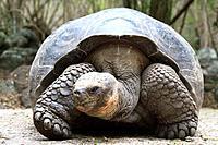 Galapagos tortoise, Giant Tortoise, Chelonoidis nigra, Floreana Island, Galapagos Islands, Ecuador.