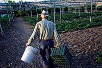 A senior farmer carries empty plastic boxes in Los Tamayos organic farm in Prado del Rey, Cadiz, Andalusia, Spain, June 20, 2013. Los Tamayos organic ...