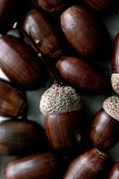 Oak acorns. Close-up.