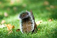 Grey (gray) squirrel, Sciurus carolinensis, on green grass with its back towards us showing only its tail. England, UK.