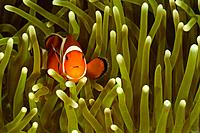 Common clownfish - Amphiprion ocellaris, Lankayan, Malaysia.