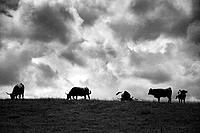 Cows grazing along the coast of Llanes. Asturias. Spain.