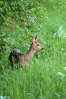 Molting Roe Deer (Capreolus capreolus) in spring. In a field on the edge of a forest. Gelderland, the Netherlands.