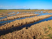 Flooded ricefields after harvest. Ebro River Delta Natural Park, Tarragona province, Catalonia, Spain.