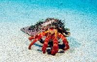 Great hermit crab (Dardanus arrosor). Atlantic Ocean. Azores islands. Portugal.