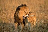 lion and lioness in Masai Mara, Kenia