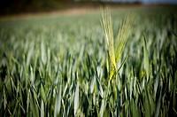 Couple motive: Wheat field in Germany.