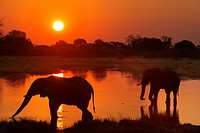Botswana, Moremi Game Reserve, Okavango Delta, Khwai River Lodge, View of wading elephants