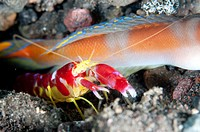 Flagtail Shrimpgoby (Amblyeleotris yanoi) with Randall´s Snapping Shrimp (Alpheus randalli) by hole at Seraya in Bali in Indonesia.