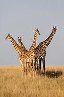 Giraffes (Giraffa camelopardalis) in savannah, Masai Mara, Kenya.