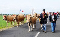 The Transhumance, traditional festival on the Aubrac plateau. At the end of May, herds of cows are led to the summer pastures, Aubrac, North Aveyron, ...
