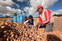 Indigenous people of Sacred Valley picking up potatoes, Cusco, Peru, South America.