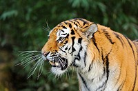 Portrait of a Siberian tiger or Amur tiger (Panthera tigris altaica).
