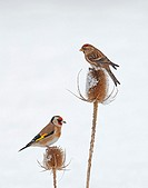 Lesser Redpoll (Carduelis cabaret) And Goldfinch (Carduelis carduelis) On Snow Covered Teasel (Dipsacus fullonum) Winter. Uk.