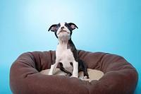 Boston terrier puppy in dog bed.