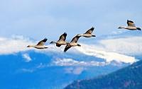 Snow Geese Flying Snow Mountains Skagit Valley Washington.