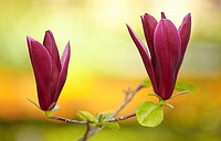 "Magnolia liliiflora """"Nigra"""" blossom at the Royal Botanical Garden. Madrid. Spain."
