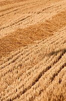 Wheat (Triticum vulgare) field after harvesting in July, spain